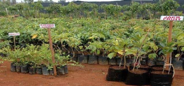 Top 20 Banana Tissue Culture Plant
