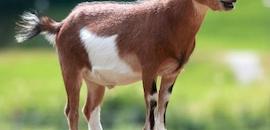Top Goat Farming in Malappuram - Justdial