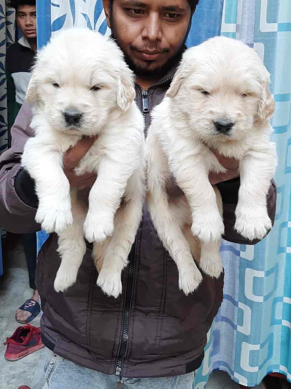 Top 100 Golden Retriever Dog Pup In Delhi Best Golden Retriever