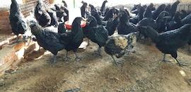 Top 10 Kadaknath Chicken Suppliers in Delhi - Best Kadaknath