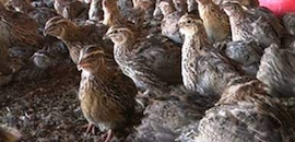 Top 10 Quail Farming in Hyderabad - Best Quail Bird Farming
