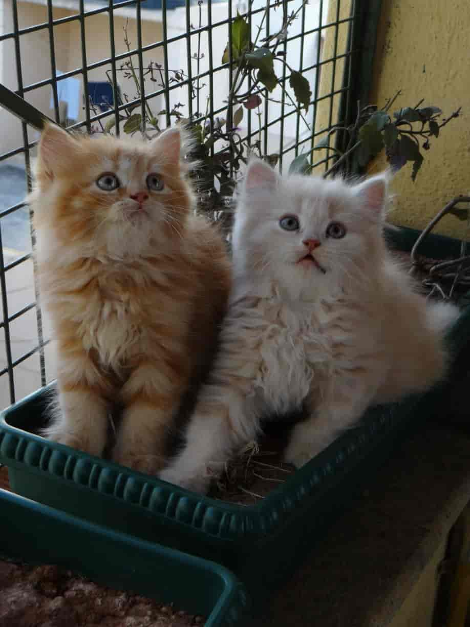Top 10 Pet Shops For Persian Cats In Kannur Best Persian Cat Dealers Justdial