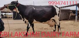 Top 10 Cow Suppliers in Karur - Best Cow Dealers - Justdial
