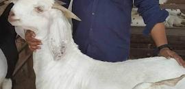 Top Goat Farming in Kolkata - Justdial