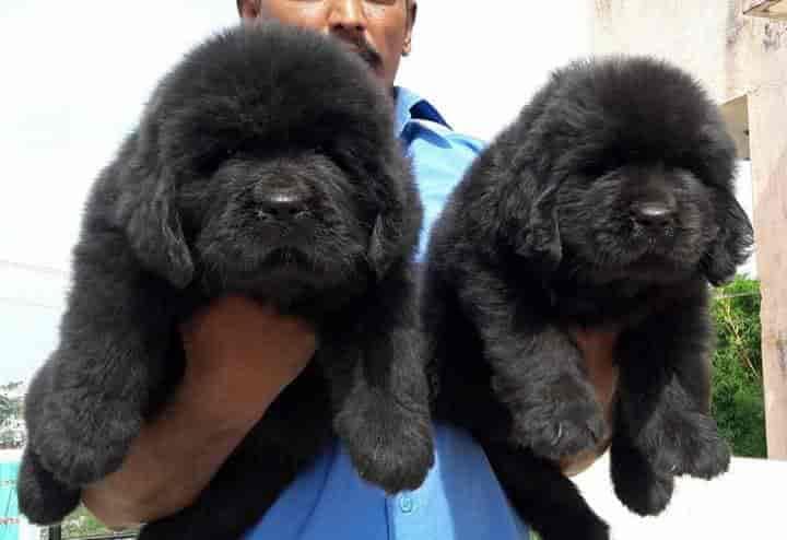 Top 100 Pet Shops For German Shepherd Dog In Kolkata Best German