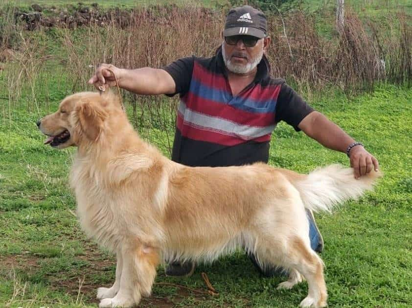 Top Golden Retriever Dog Pup In Thane West Best Golden Retriever