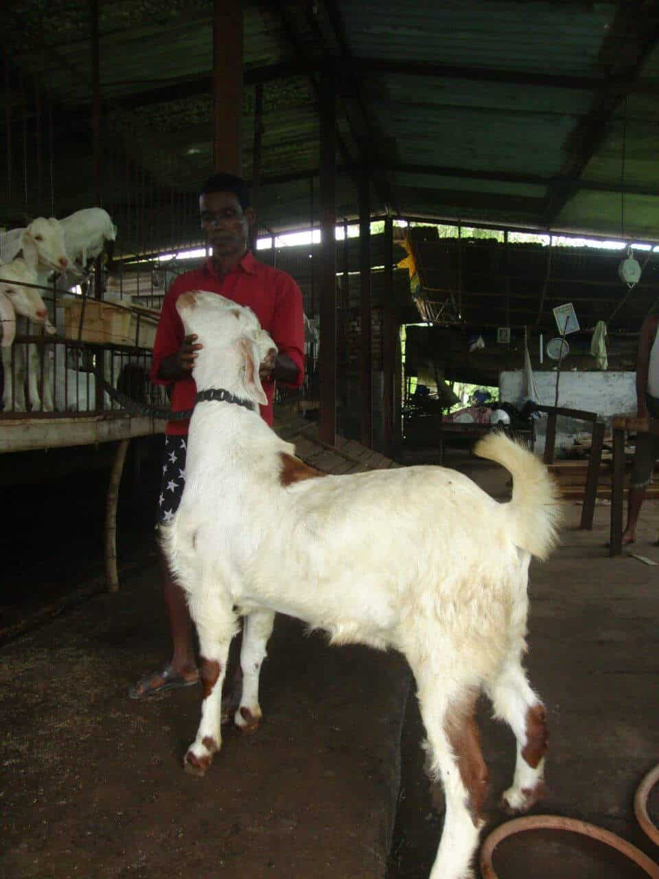 Arnav Goat Farm, Padgha - Goat Farming in Thane, Mumbai