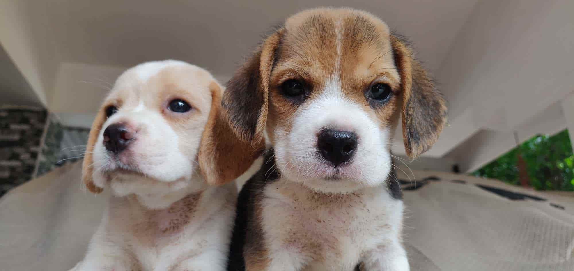 Top Pet Shops For Boxer Dog In Thrissur Justdial
